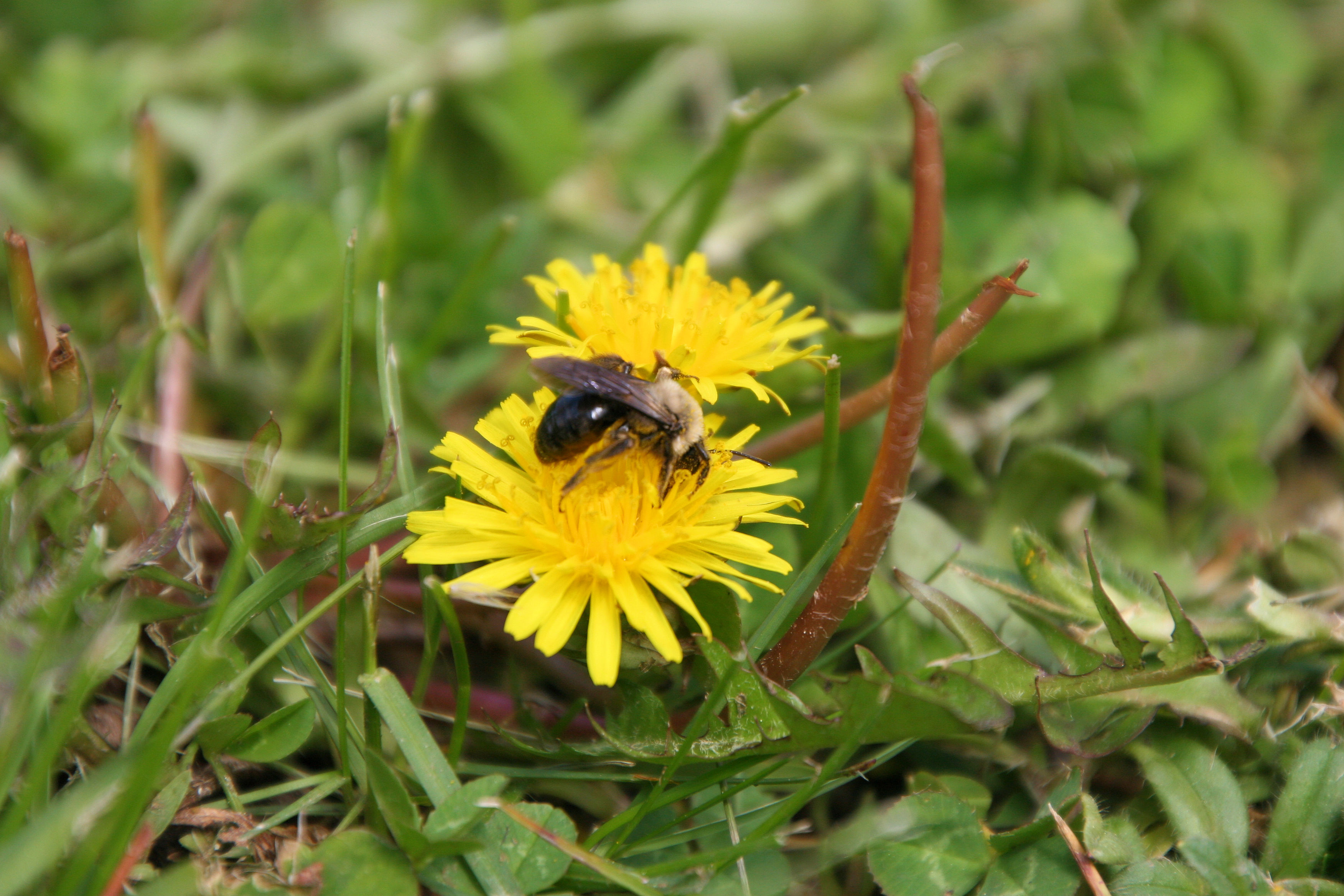 Dandelions and Bees: Why a Flowering Lawn is Healthier For Everyone